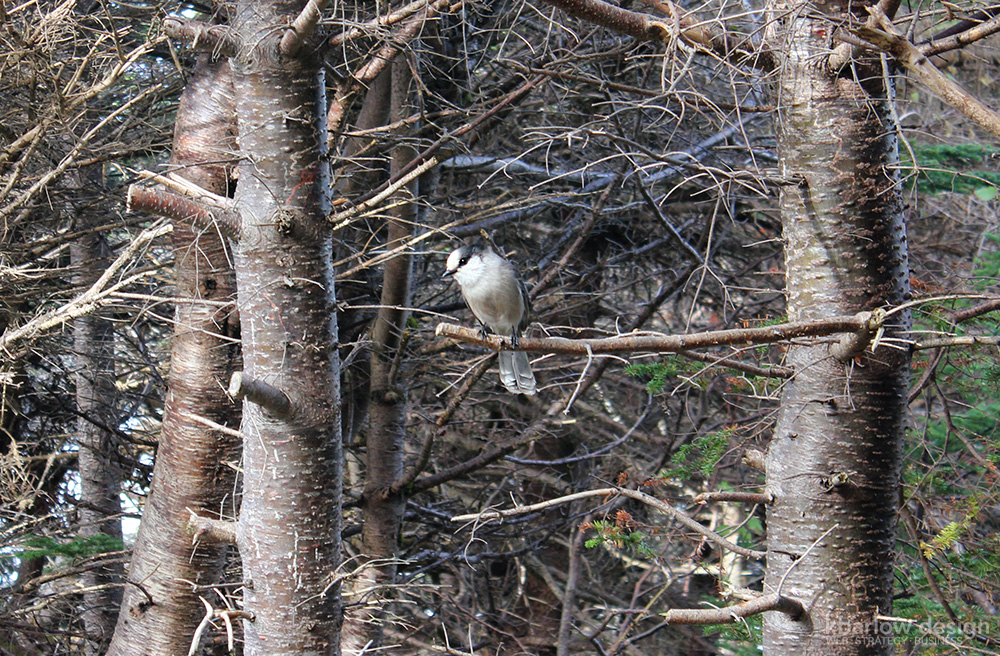 nl gros morne green point coastal trail grey jay | kbarlowdesign.com blog