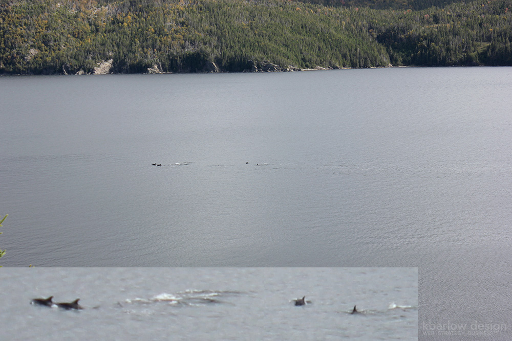 nl gros morne dolphins | kbarlowdesign.com blog